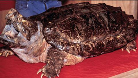 大鳄龟的开模和浇注